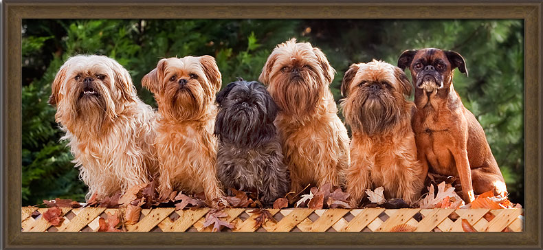 brussels griffon, group