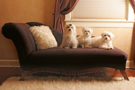 maltese dog photographer